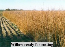 willow ready for cutting