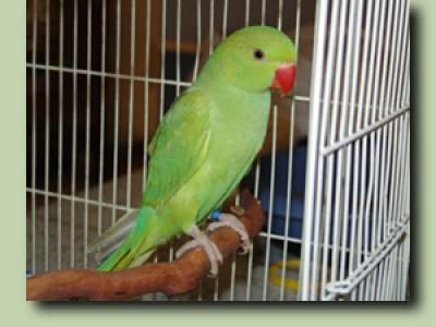 Image result for indian ringneck green