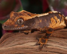 SET1..Crestie Exo Terra Crested Gecko Kit Small