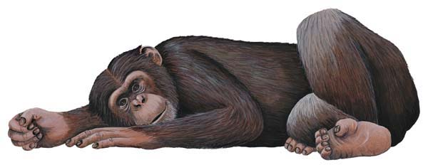 Jungle-Chimp Chimpanzee wall sticker