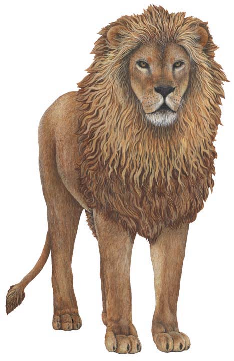 Jungle-Lion Giant Lion Wall Sticker