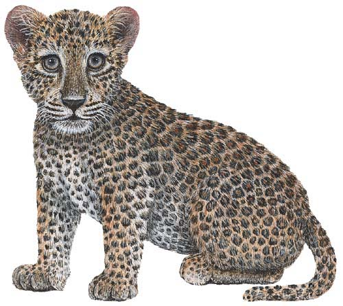 Jungle-Leopard Jungle Leopard wall sticker