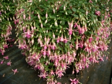Trailing Fuchsia Puts Folly
