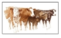 Print of Beef Cattle