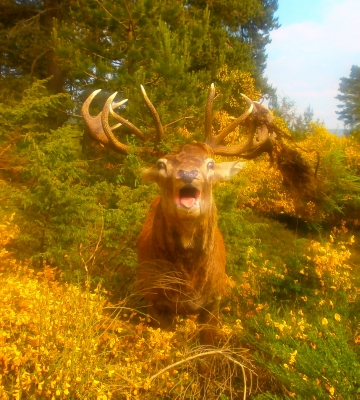 MASSIVE ROARING RED STAG MOUNT