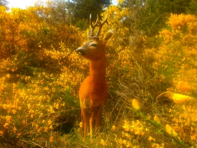 VISIT ROE DEER TAXIDERMY MOUNTS FOR SALE SECTION