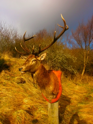 Trophy Red Deer Stag Mount picture