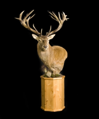 PRIME RED STAG TROPHY MOUNT.