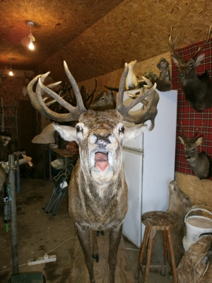 Red deer Stag cervus elaphus full life size pose
