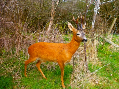 roe deer stalking in scotland