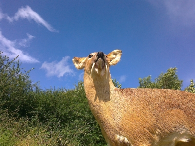 Chinese Water Deer taxidermy trophy lifesize mount