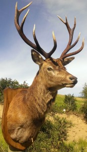 West-highland hunting taxidermy trophy stag mount