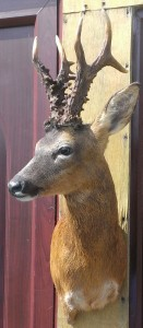 Roe deer buck taxidermy mount