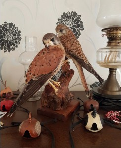 Kestrel Male And Female Kestrels For Sale, Kestrel Taxidermy
