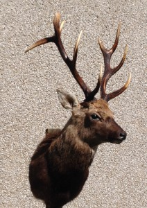 scottish sika stag taxidermy mount massive antlers