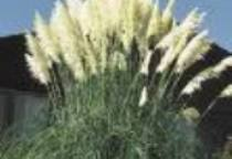 cor6 CORTADERIA selloana White Feather