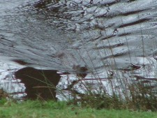 Otters at the rear of the Lodge.