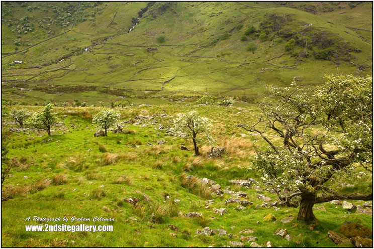Looking down into the nant Gwynant valley and onto the slopes of the snowdon mountain range, with numerous stunted hawthorn trees