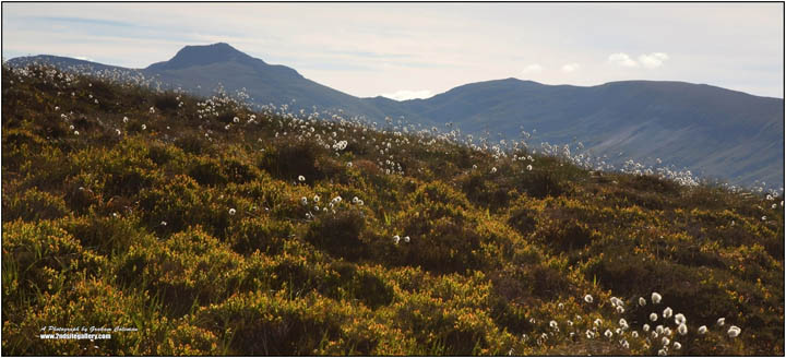 Pen y Gadair, the summit of the cadair Idris mountain range, viewed from the mountain ridge to the west, with cotton grass in foreground