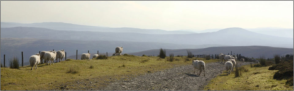sheep in the berwyn mountains