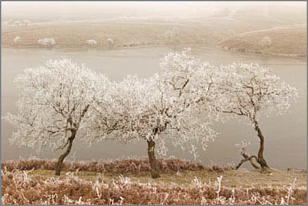 Three frozen trees in the brecons, south wales