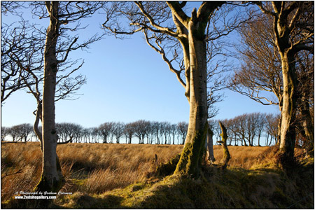 view of beech trees on exmoor