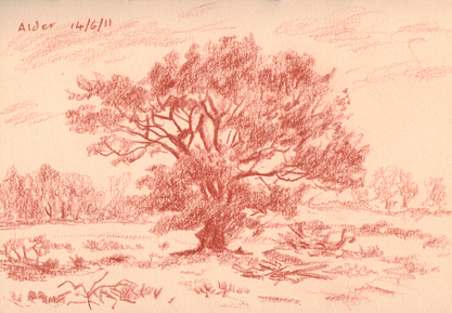 An Alder in the fields near Fence, Lancashire. Sketch: Keith Melling
