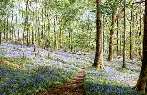 Bluebells, Brathay Woods  -  Lake District. Keith Melling