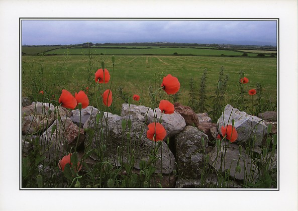 Poppies at Sker in Porthcawl