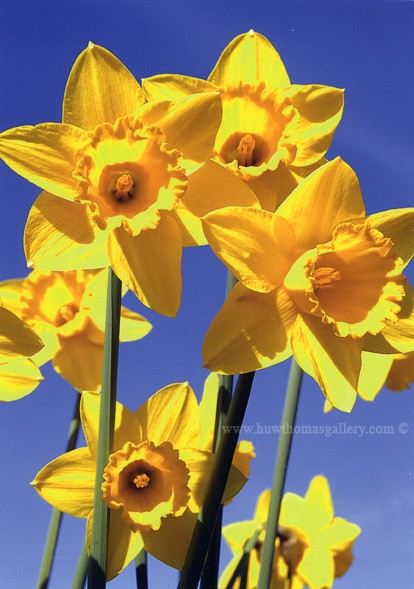 Welsh Daffodil Card Design BL 2 - Welsh Greeting Card