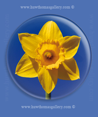 Welsh Daffodil Fridge Magnet - Blue