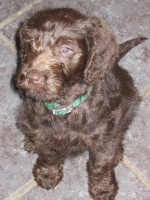 Pignut from our 1st litter of labradoodles