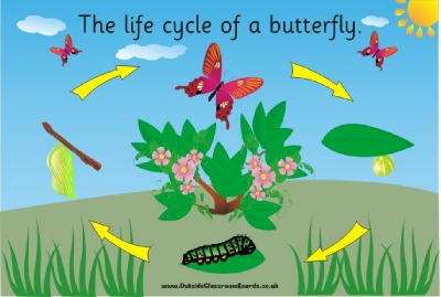 THE LIFECYCLE OF A BUTTERFLY (illustrated)