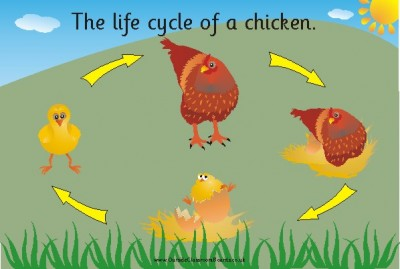 THE LIFECYCLE OF A CHICKEN (illustrated)