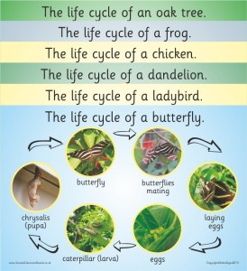 SET OF 6 PHOTOGRAPHIC LIFE CYCLE BOARDS (FROG, BUTTERFLY, LADYBIRD, OAK TREE, DANDELION, BLUE TIT OR CHICKEN)