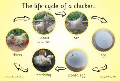 THE LIFE CYCLE OF A CHICKEN (PHOTOGRAPHIC)