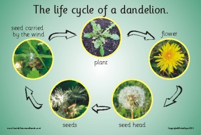 THE LIFE CYCLE OF A DANDELION (PHOTOGRAPHIC)