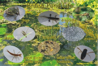 BRITISH POND LIFE - PHOTOGRAPHIC BOARD