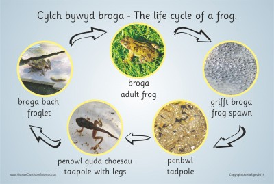 THE LIFE CYCLE OF A FROG (PHOTOGRAPHIC)