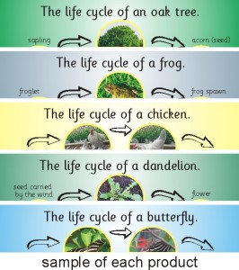 SET OF 5 WELSH/BILINGUAL PHOTOGRAPHIC LIFE CYCLE BOARDS (FROG, BUTTERFLY, CHICKEN, OAK TREE