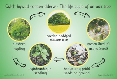 THE LIFE CYCLE OF AN OAK TREE (PHOTOGRAPHIC)