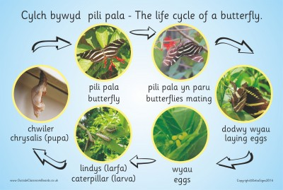 THE LIFE CYCLE OF A BUTTERFLY (PHOTOGRAPHIC)