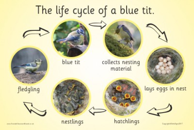 THE LIFE CYCLE OF A BLUE TIT (PHOTOGRAPHIC)